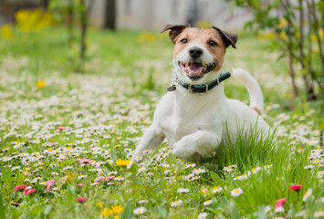 Spring scene with happy dog playing on flowers at fresh green grass lawn