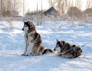winter picture with a dogs, park of a riding dogs