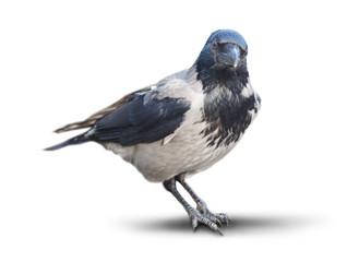 big wild crow isolated on white background