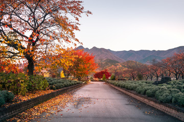 Spectacular morning after sunrise on an autumn path in a park at Fujikawaguchiko, a resort town on the side of Lake Kawaguchi, Japan.
