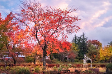 Garden in autumn at Fujikawaguchiko resort town, Japan.