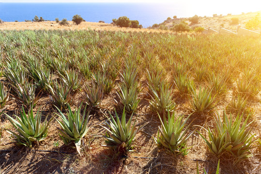 Aloe Vera field on the Mediterranean coast. Crete, Greece.