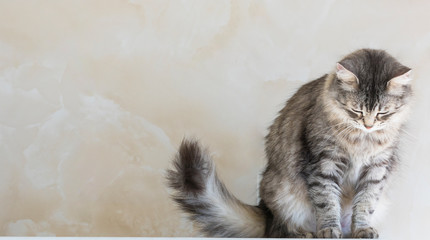 Female cat of siberian breed, grey silver color. Pretty long haired kitten indoor