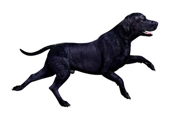 3D Rendering Labrador Dog on White.