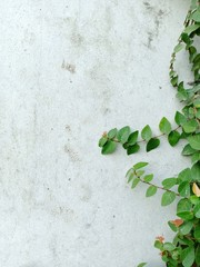 Concrete wall texture background and ivy leaf