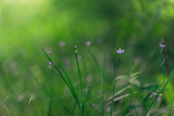 green grass with tiny blue flowers in Spring