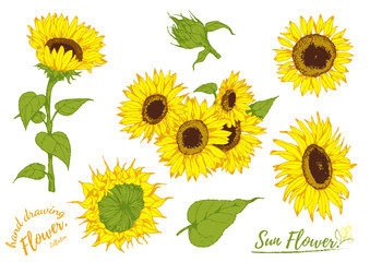 Sunflower flower isolated, vector illustration.