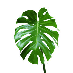 Green Leaf of Monstera Plant Isolated on White Background