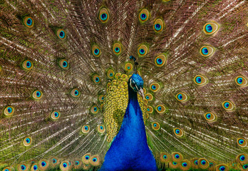 Close up photo beautiful indian peafowl - Pavo cristatus