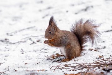 Squirrel eating nut in a park during winter