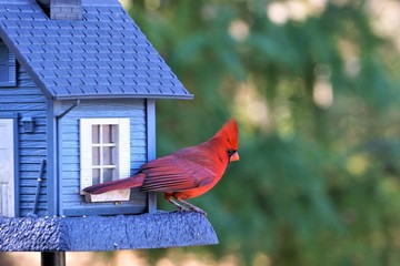 A single male cardinal bird is perching on the beautiful blue feeder enjoy eating and watching  on soft focus garden background, Winter in Georgia USA.