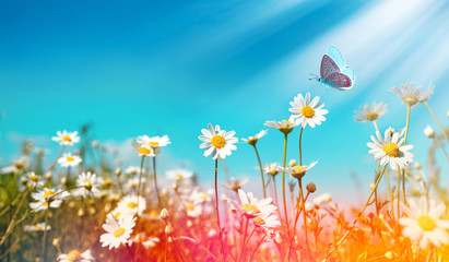 Wall Mural - Chamomiles daisies macro in summer spring field on background blue sky with sunshine and a flying butterfly, close-up macro. Summer natural landscape with copy space.