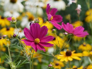Poster Universe Cosmos bipinnatus. Fleurs de Cosmos bipenné ou cosmos des jardins aux capitules de couleur rose foncé