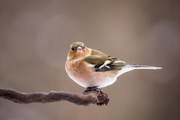 Chaffinch (Fringilla coelebs) sitting on the branch. Wildlife scenery.