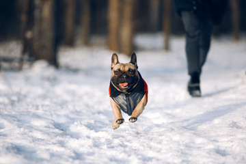 French bulldog puppy in jacket is running at the snow