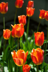 Bright colored tulips in the garden in springtime.