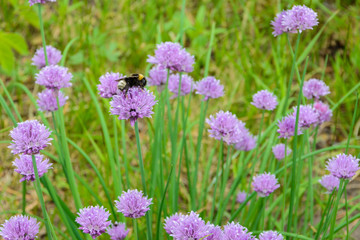 """Large fluffy bumblebee (bombus terrestris) pollinating purple """"Chives"""" flower (or Wild Chives, Flowering Onion, Garlic Chives, Chinese Chives, Schnittlauch). Its Latin name is Allium Schoenoprasum."""