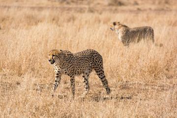 Cheetah hunting South Africa
