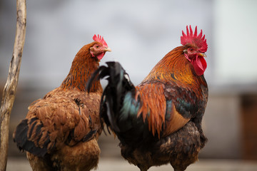 Poultry cock grazes in the barnyard