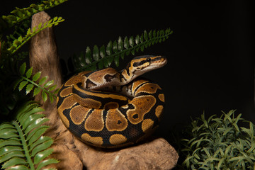 ball python snake