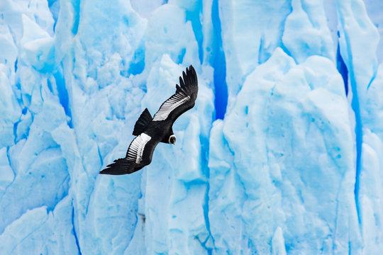 Andean Condor and Glacier