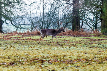 Red deer stag in sunny morning - Stock image