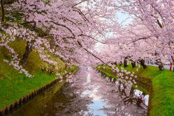 Foto op Plexiglas Asia land Full bloom Sakura - Cherry Blossom at Hirosaki park in Japan