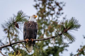 Bald Eagle In A Tree Near Coeur d'Alene, Idaho.
