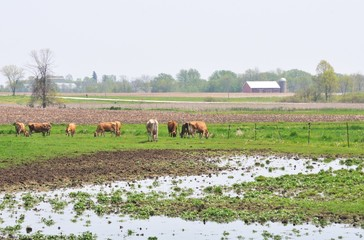 Cows in Flooded Pasture