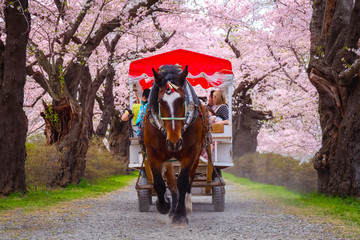 Foto op Plexiglas Asia land A Horse carriage carry a group of tourists rolls through the tunnel of cherry trees at Kitakami Tenshochi park in Japan