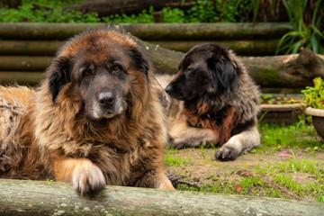 Serra da Estrela Portuguese dog