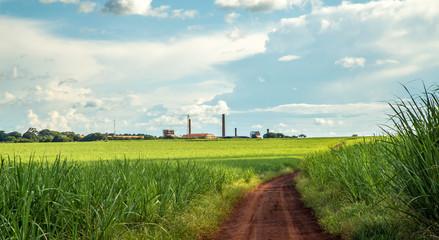 Sugar cane plantation sunset