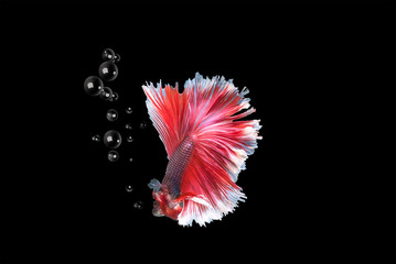 Capture the moving moment  siamese fighting fish isolated on black background,beauty, Betta fish