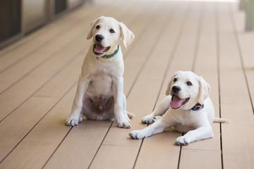ラブラドールレトリーバーの仔犬たち