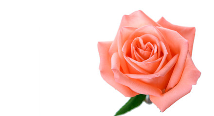 Top view of single pink rose with copy space