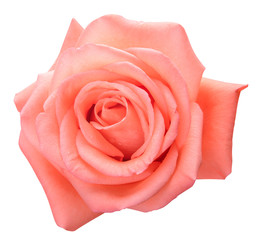 Top view of pink rose isolated on white background with clipping path