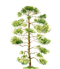 watercolor drawing pine tree