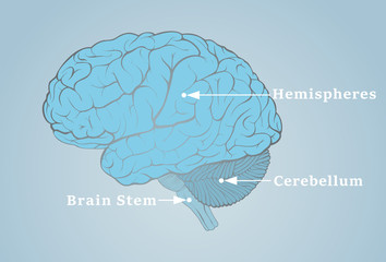 Human brain image with the structures