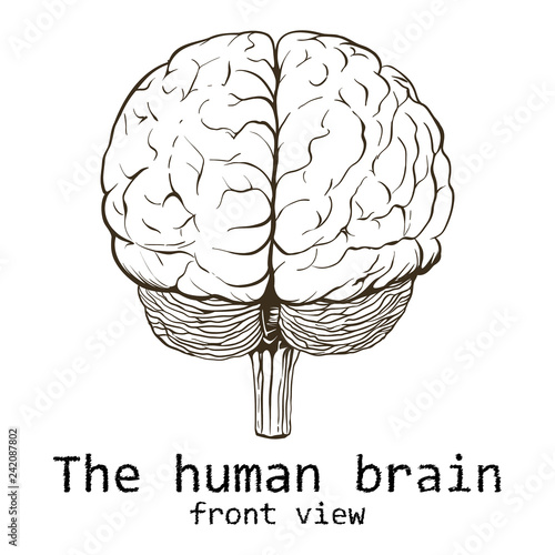 Human Brain Painted On A White Background Stock Photo And Royalty