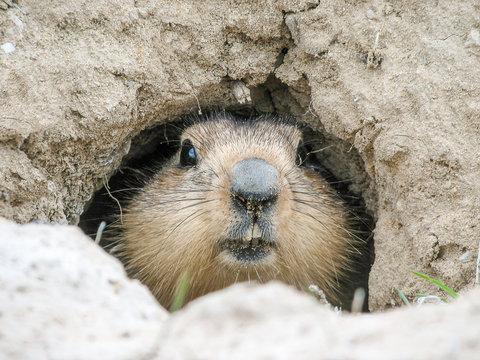 Groundhog gently peeps out of mink, Baikonur, Kazakhstan