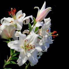 Photo of a blooming lily in a summer garden. On a black background.