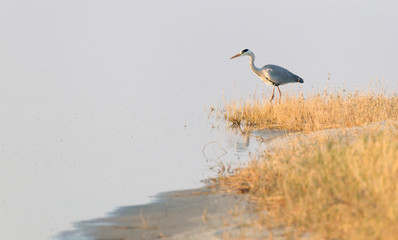 Blue heron hunting in Botswana