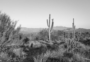 The Saguaro cactus is a true symbol of the American west and its desert landscape. These stunning images shot in Arizona's vast wilderness reveal beautiful mountains as a backdrop to these nature pics