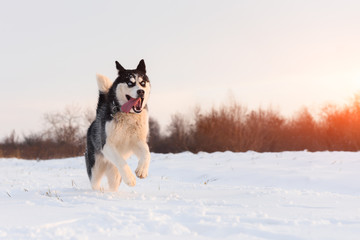 Siberian husky and jack russel terrier dogs playing on winter field. Happy puppys in fluffy snow. Animal photography