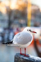 Seagull at Winter Harbor / Seagull stands on pillar at sunny cold winter, small town harbor background (copy space)