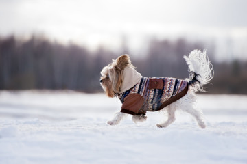 adorable yorkshire terrier dog walking in winter jacket