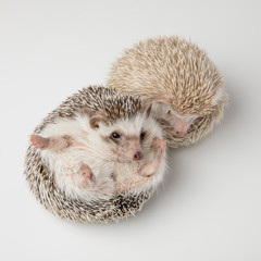 adorable white hedgehog couple standing and lying
