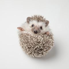 adorable grey hedgehog with spike rests on back