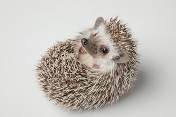 adorable dwarf african hedghog lying on its spikes