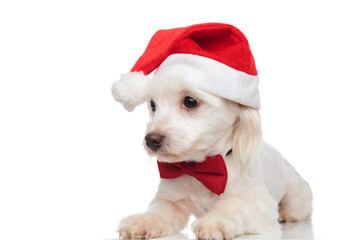 classy santa bichon lies and looks down to side